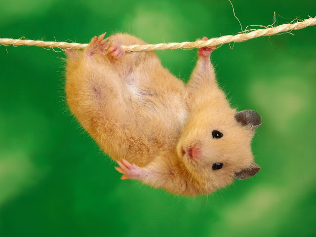 17878-Hamster On Rope Animal HD Wallpaperz