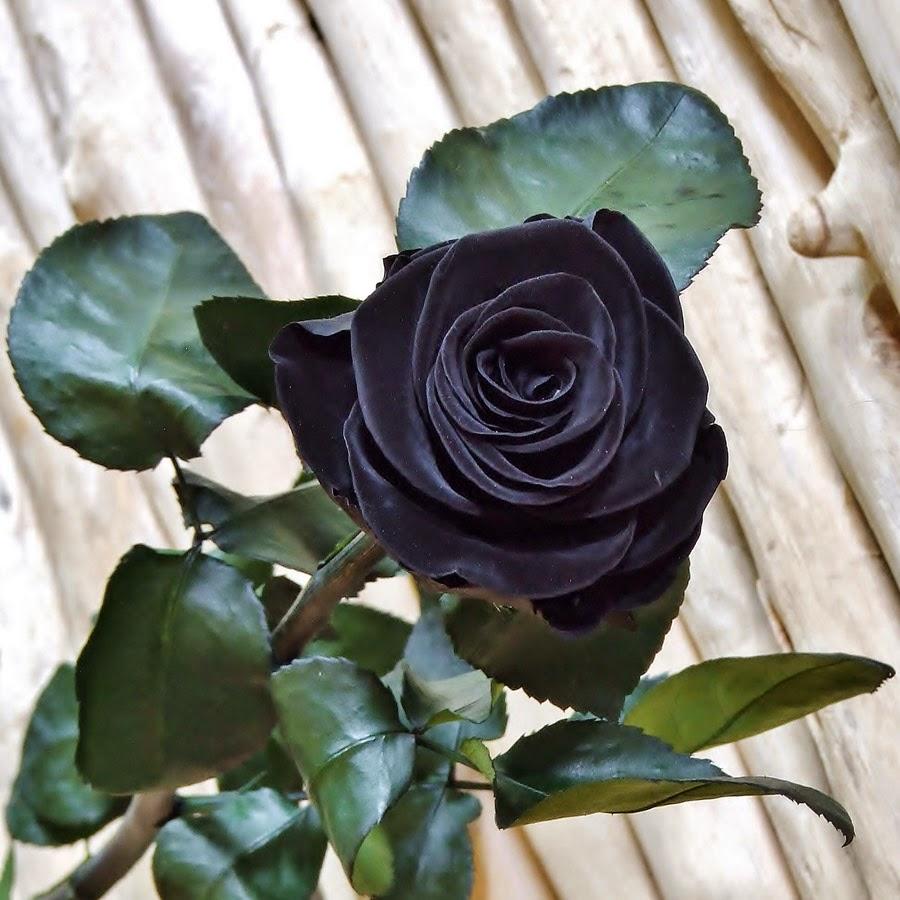 Imagenes De Rosas Negras Bonitas - Mi Galeria de Marcos para fotos ¡¡Gratis!! moneria negra