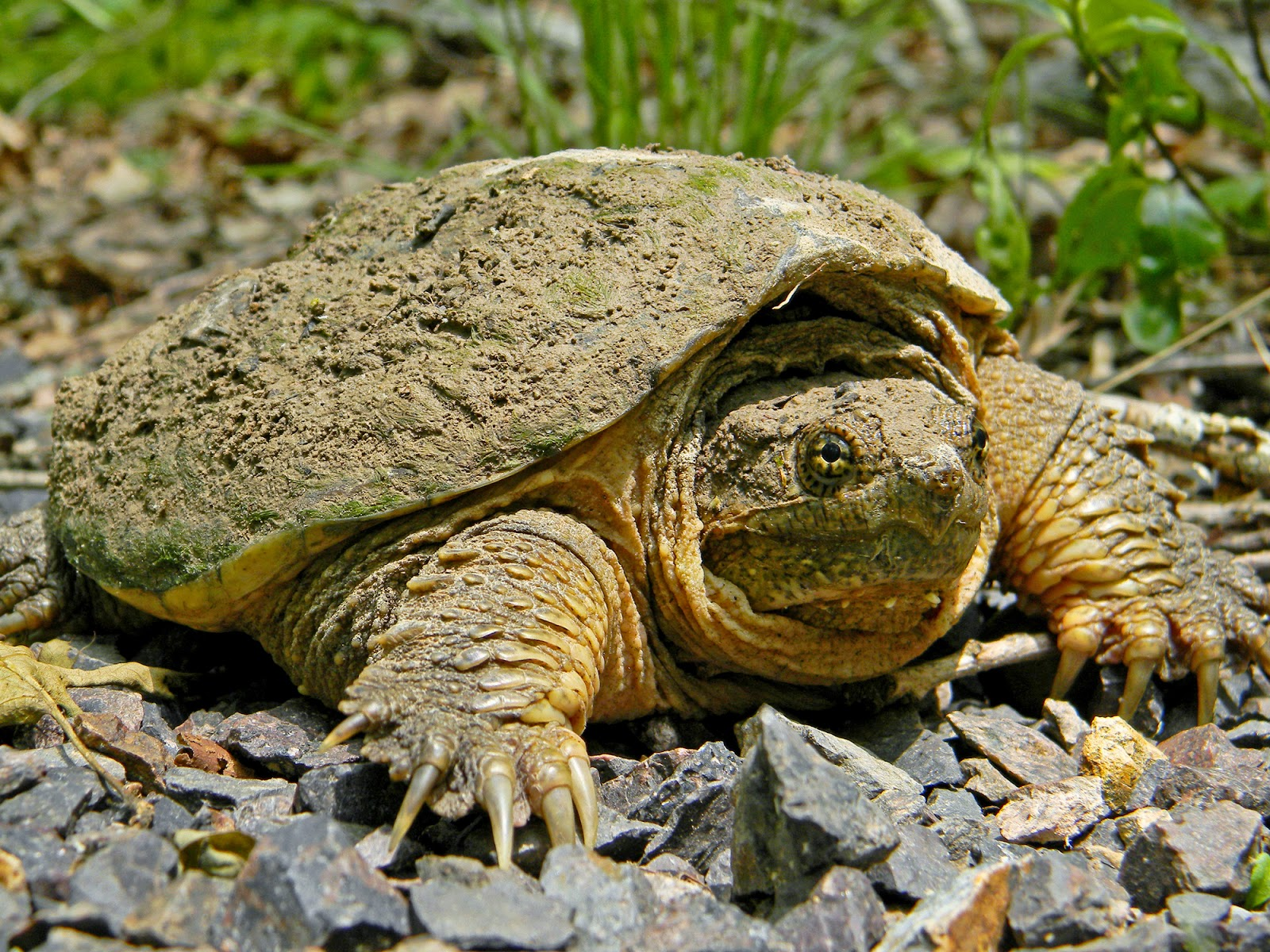 Cached Photo of snapping turtle