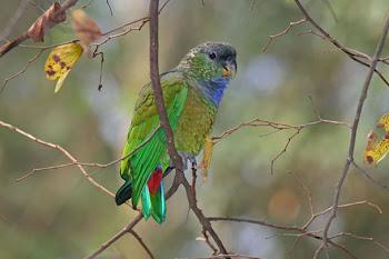 Essa ave vive em áreas do Nordeste.