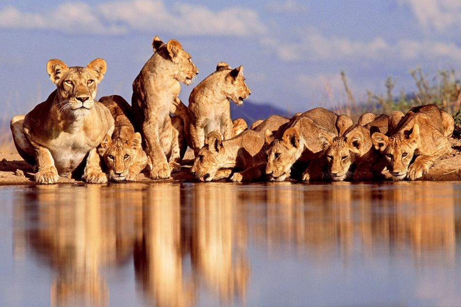 Beautiful animals safaris lion cubs and young male lions in the wild