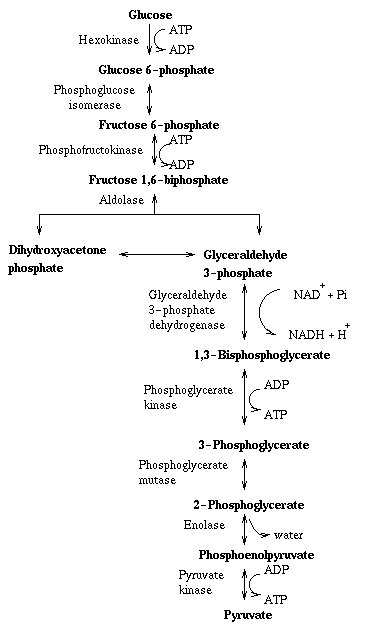 an analysis of the process of glycolysis and the aerobic respiration Most of the atp produced by aerobic cellular respiration is made by cellular respiration is the process by which biological fuels are oxidised in the.