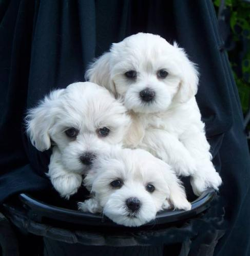 Maltese_Puppies.jpg