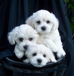 Maltese Puppy Picture