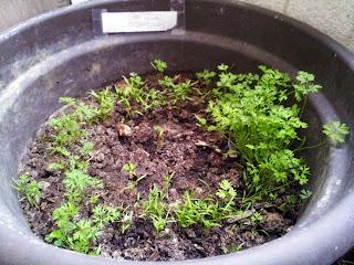Pot plein de pieds de carottes (terre semi douce en haut, sèche en bas)