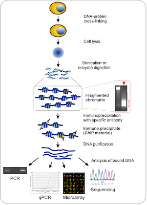 The chromatin immunoprecipitation (ChIP) assay.