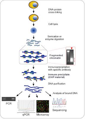 The chromatin immunoprecipitation (ChIP) assay.