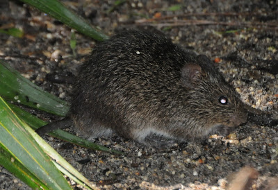 Hispid Cotton Rat (Sigmodon hispidus)