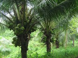 สวนมะพร้าวน้ำหอมที่ปลูกไว้ขายในลูกค้าในไร่