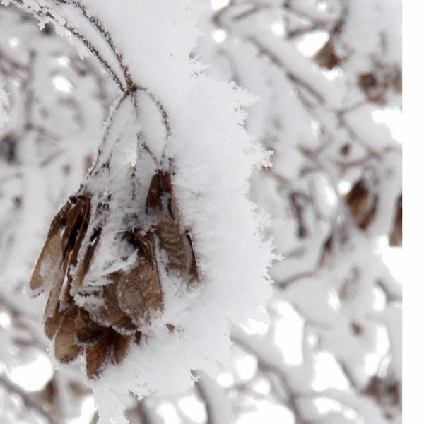 Huge Snowflakes On Maple Tree Seeds - Snow Photograph