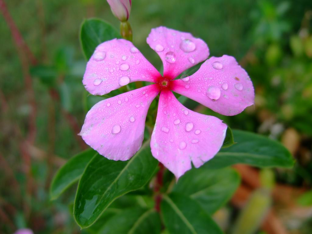 Family Health Care Cape Periwinkle Herbal Cure Cancer