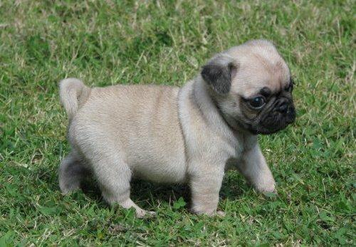 Free Pug Puppies for Sale