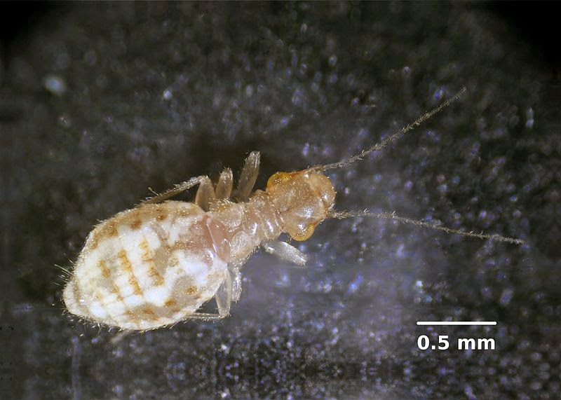 Sci Why The Singing Lice That Are Not Lice