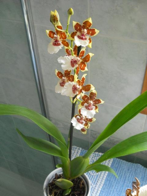 Giardinaggio laura ponte in valtellina cambria orchidea for Nuovo stelo orchidea