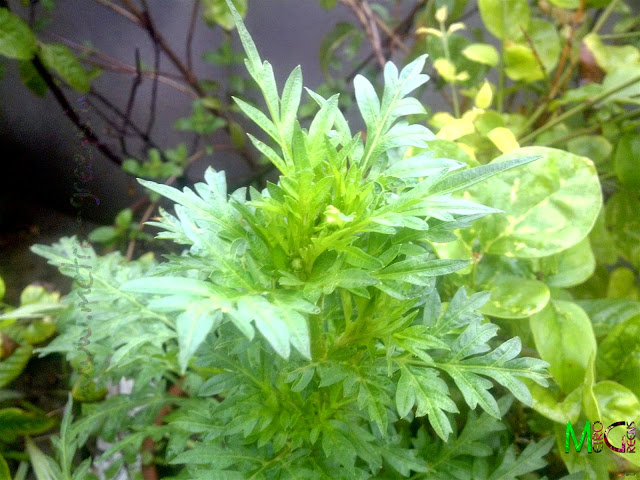 Metro Greens: Cosmos Plant
