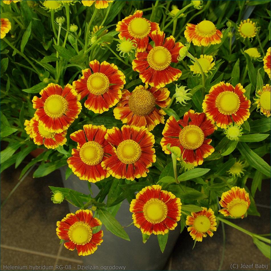Helenium hybridum RG-08 - Dzielżan ogrodowy
