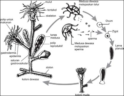 Obelia Medusa Diagram Labeled