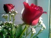 Dos rosas tu y  yo