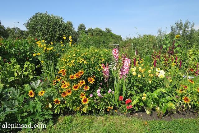 сад в августе, клумбы, рудбекия, гелениум, розы, гладиолусы, аленин сад, огород,