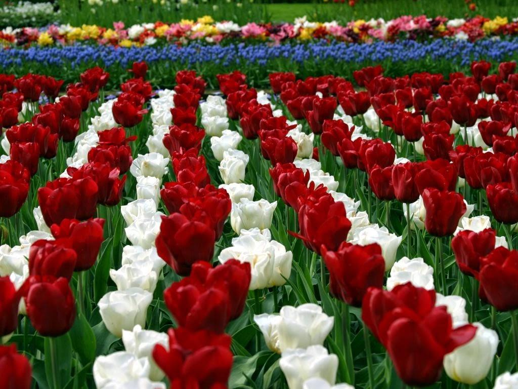 Taman Bunga Tulip Keukenhof Halaman Slamet Cahyadi