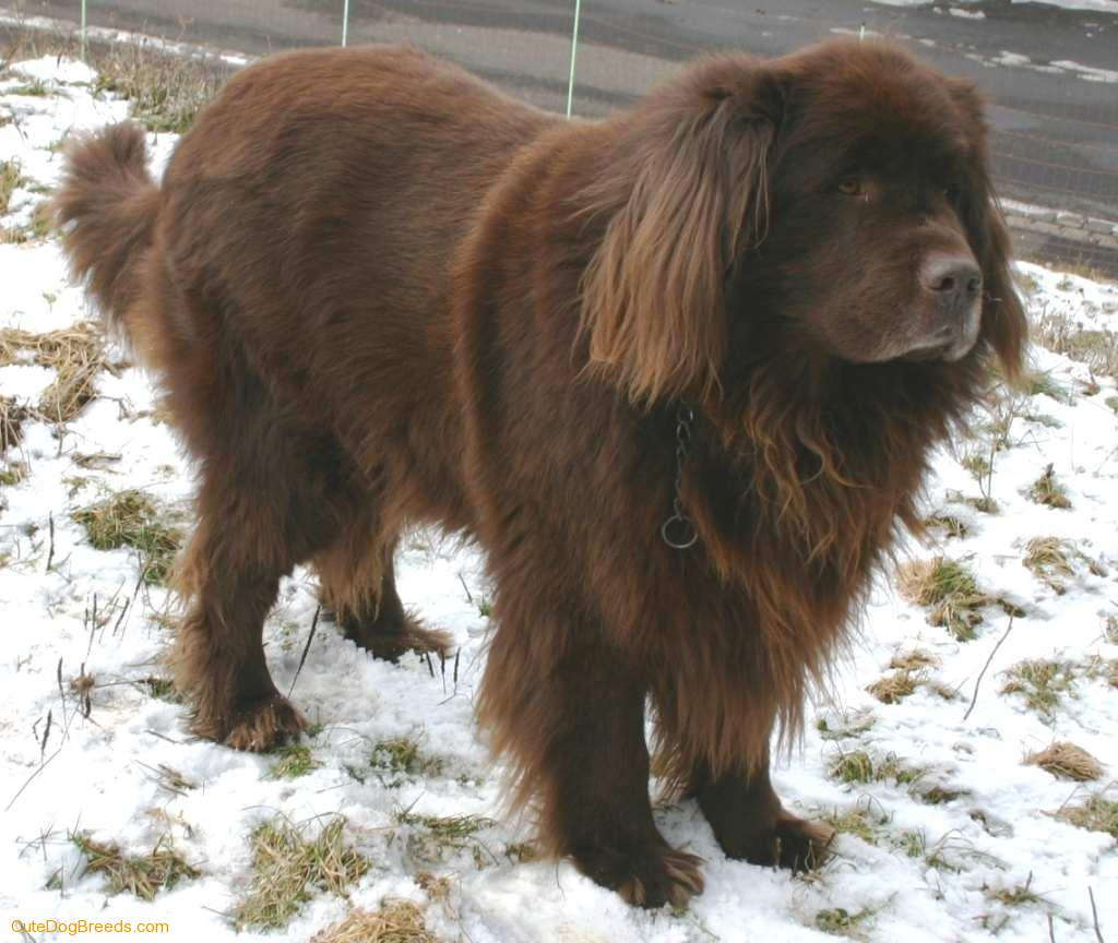 Newfoundland dog breeders