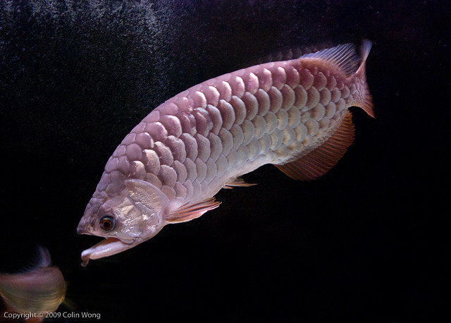 Arowana Care - Tips on What to Feed Arowanas
