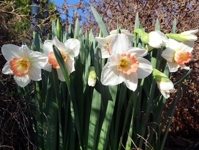 Daffodils - White with peach center