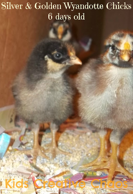 Silver and Golden Laced Wyandotte Chicks at 6 days old