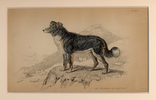 breed history border collie