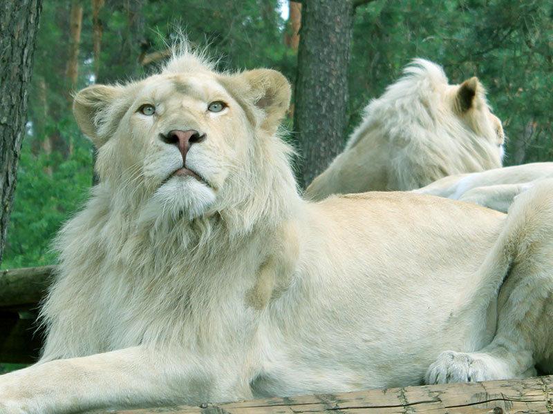 wallpapers download white lion desktop wallpapers 2012