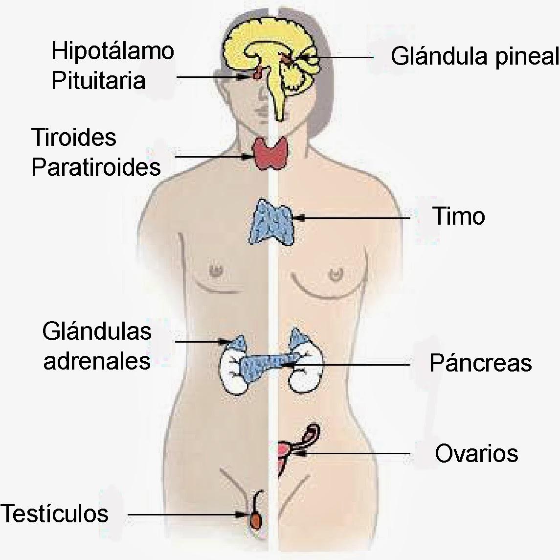 El Sistema Endocrino, Inmunológico y Los Sentidos.   Aportes