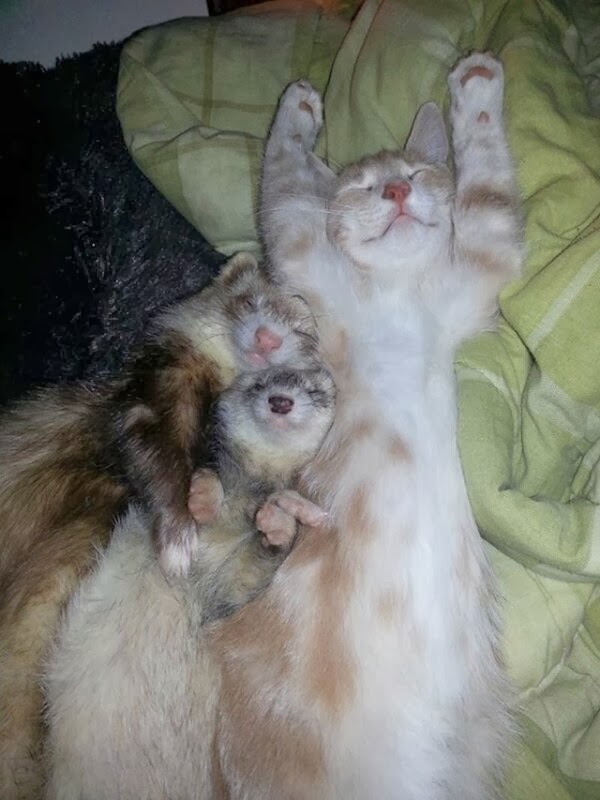 Funny cats - part 88 (40 pics + 10 gifs), kitten sleeps with two ferrets