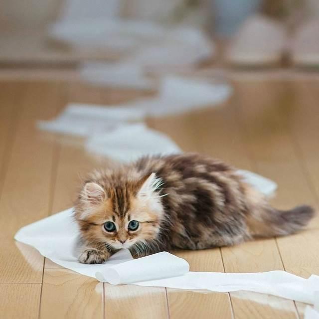 gelagat anak kucing main tisu