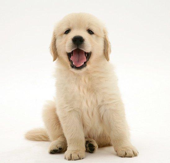 Yavru Köpek Bakımı Golden Retriever Kont Ve Likya