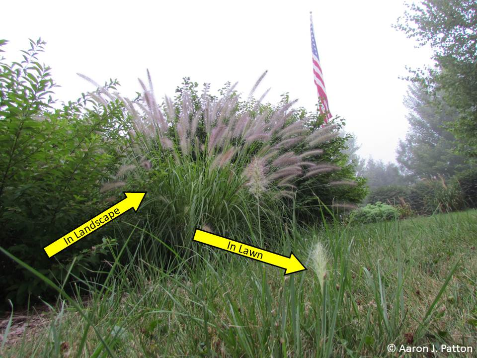 Purdue turf tips weed of the month for june 2013 is for Fountain grass garden
