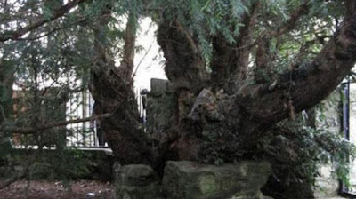 Aneh, Pohon Yew Berusia 5.000 Tahun ini Ganti Kelamin
