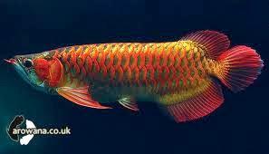 Seputar Dunia Perikanan Ikan Arwana
