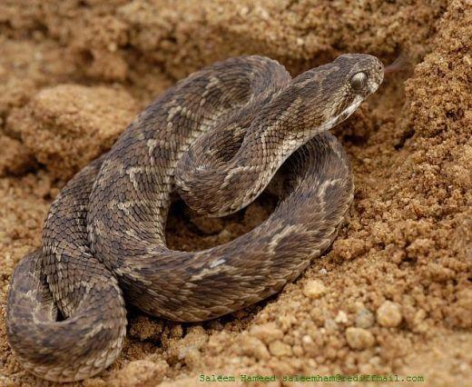 http://4.bp.blogspot.com/-QRyLr4ZqVt8/TxU1IkXWDPI/AAAAAAAAA8U/mw_Yuys_P1w/s1600/Saw-Scaled-Viper.jpg