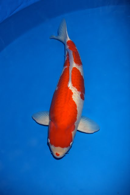 Nishikigoi international for Koi for sale san diego