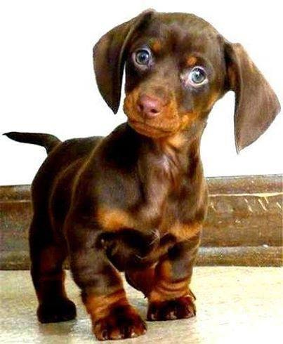 Descrição da imagem: Filhotinho de cachorro, marrom com pelo liso, orelhas compridas na altura do queixo, olhos muito azuis e focinho cor de caramelo. Ele tem as patinhas curtas, o peito no mesmo tom do focinho, rabo fino e está em pé com olhar atento.