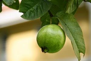 Daun jambu biji dan buahnya