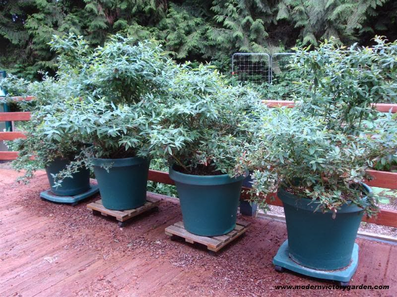how to grow blueberries in pots and containers the garden of eaden