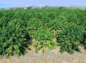 pohon-kopi-robusta.jpg