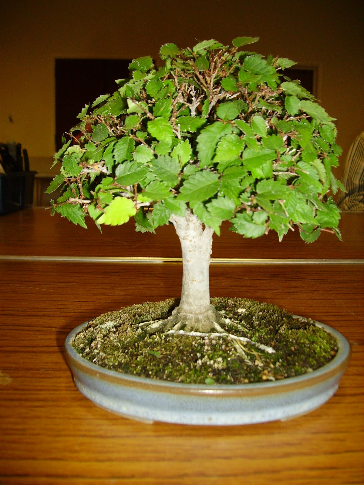 Ashfield Bonsai Club June 2011