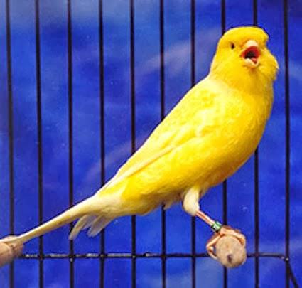 http://ilmukicau.blogspot.com/p/burung-kenari-kn.html