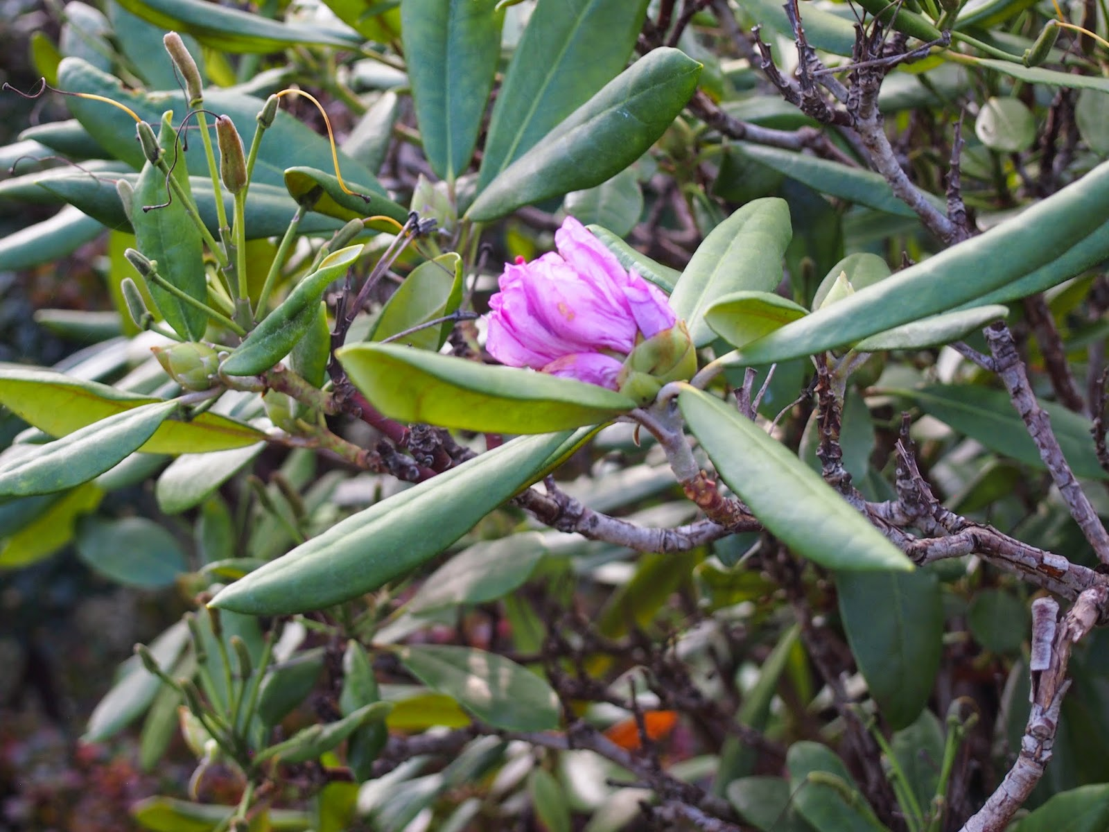a pink rhododendron flower opening