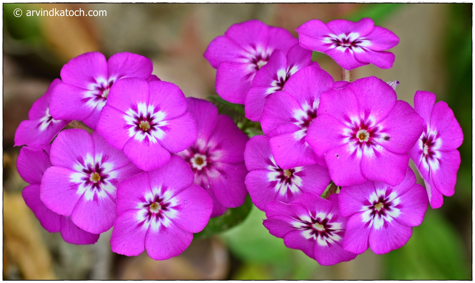 Arvind Katoch Photography Light Purple Garden Flowers With White