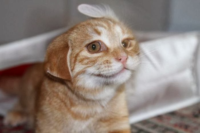 Funny cats - part 89 (40 pics + 10 gifs), cat with floppy ears