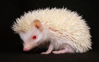 African Pygmy Hedgehog.txt