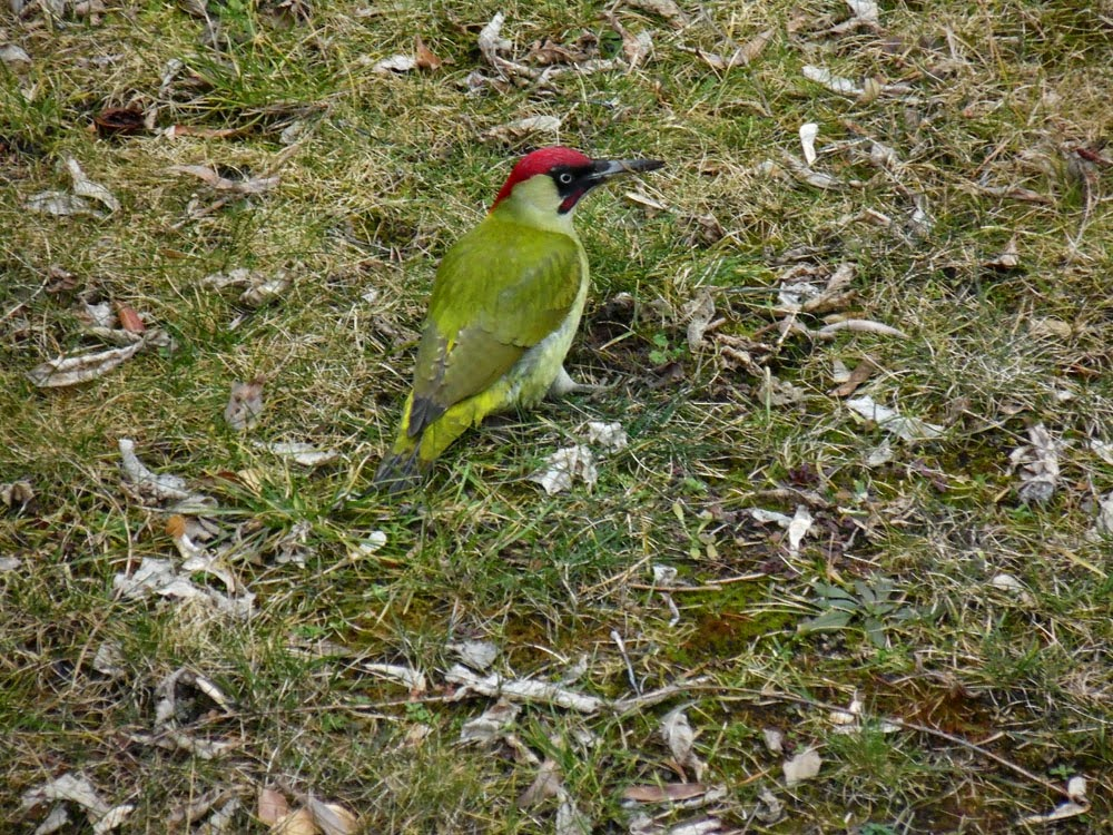 Photo of a European Green Woodpecker by Andie Gilmour